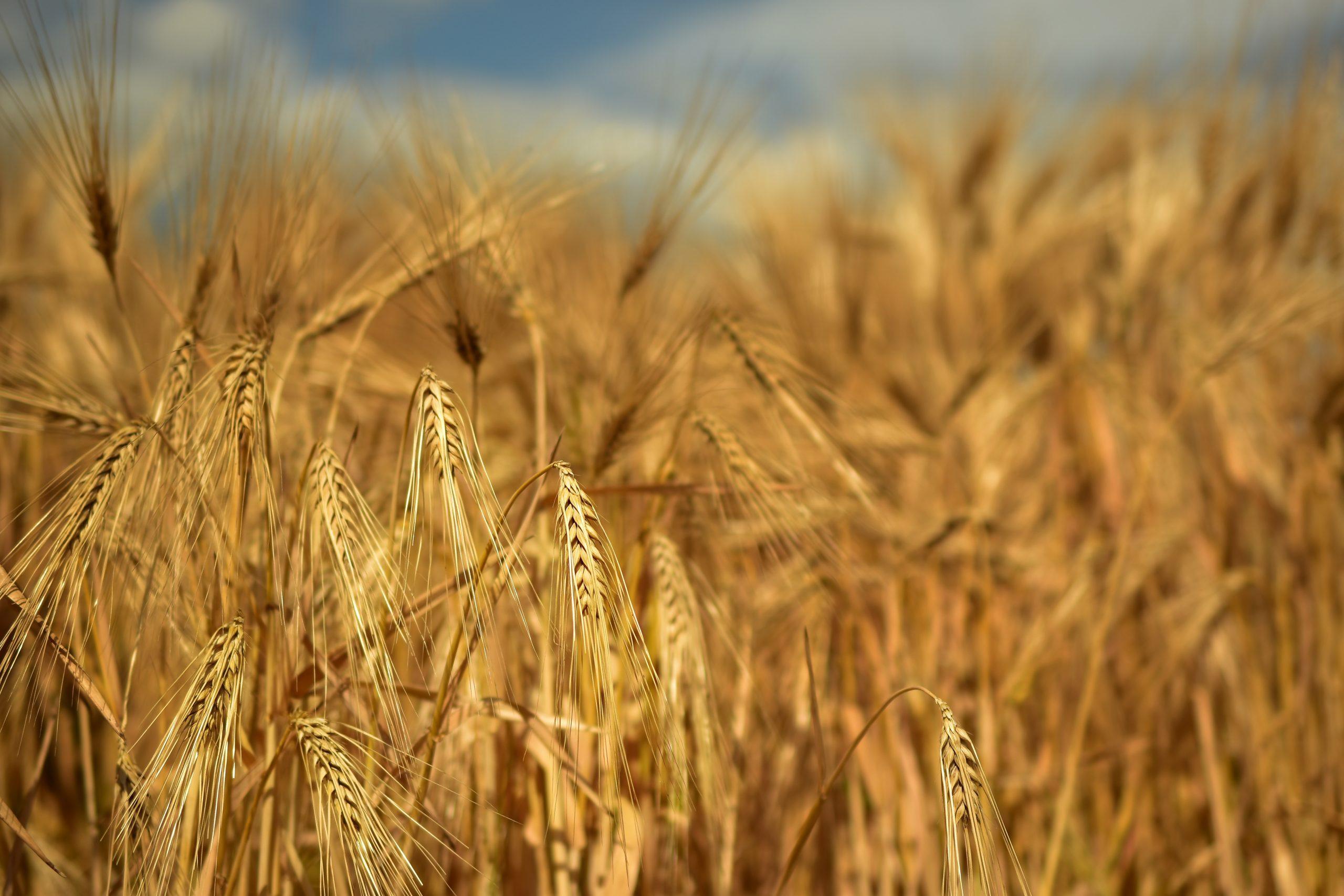 barley-1